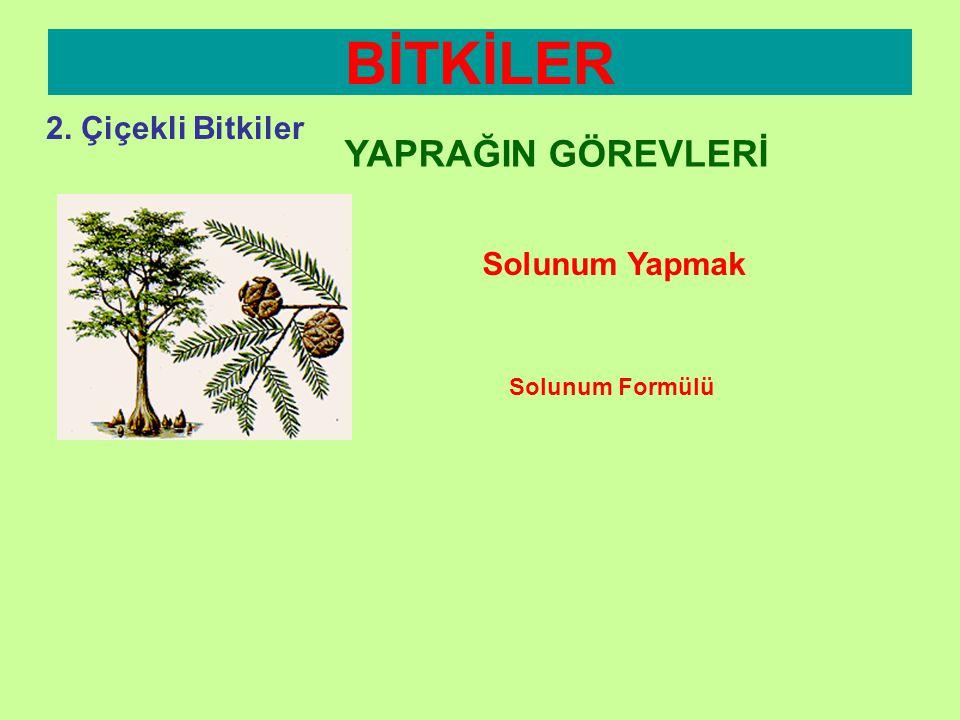 BİTKİLER 2. Çiçekli Bitkiler YAPRAĞIN GÖREVLERİ Solunum Yapmak •B•Bütün canlılar gibi bitkiler de solunum yapar. •Y•Yapraklarda bulunan gözeneklerden