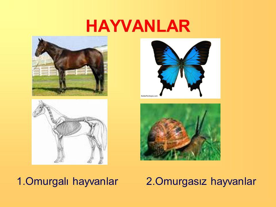 HAYVANLAR Hayvanlarda sınıflandırma vücutlarında omurga bulunup bulunmamasına göre yapılır. Buna göre hayvanlar ikiye ayrılır: 1.Omurgalı Hayvanlar 2.