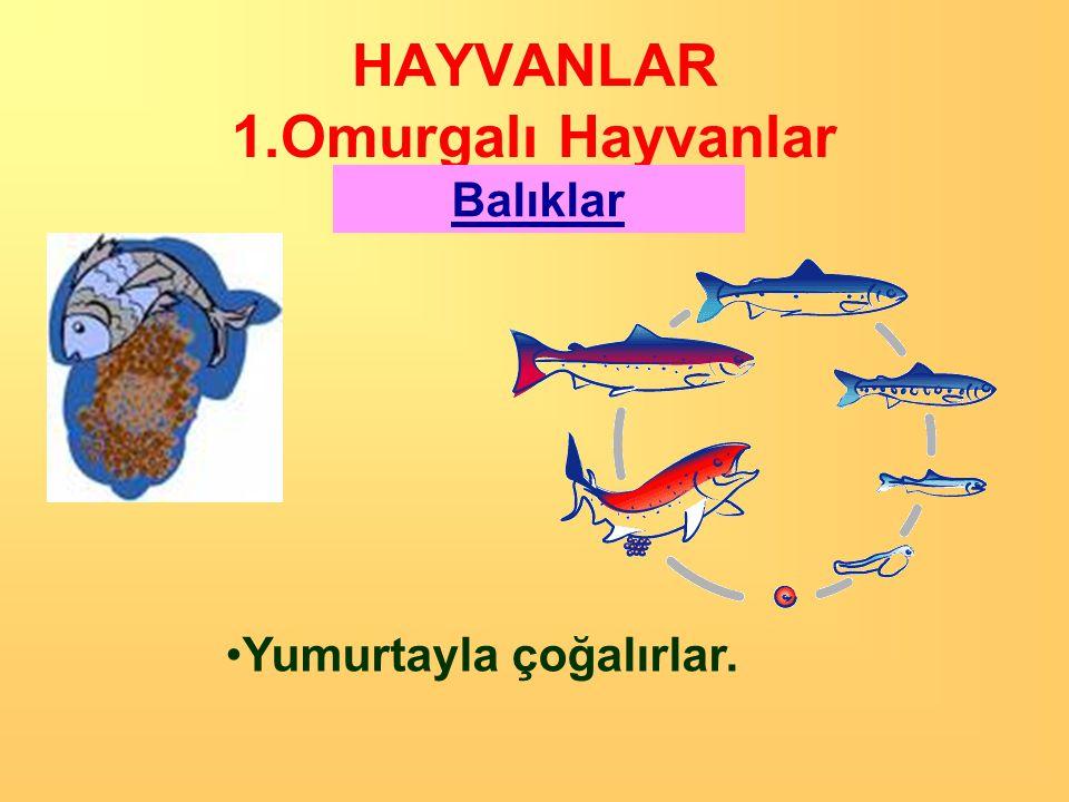 HAYVANLAR 1.Omurgalı Hayvanlar Balıklar •Sularda yaşarlar •Vücutları pullarla kaplıdır. •Kuyruk ve yüzgeçleriyle hareket ederler •Kendilerinden küçük