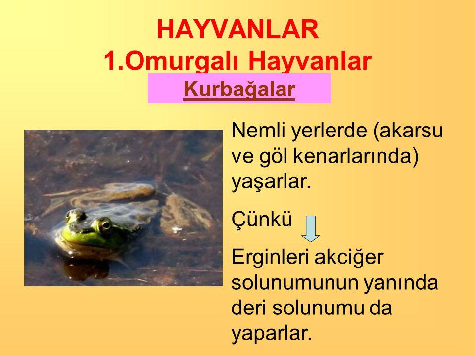 HAYVANLAR 1.Omurgalı Hayvanlar Kurbağalar Kurbağa iskeleti O bir… omurgalı