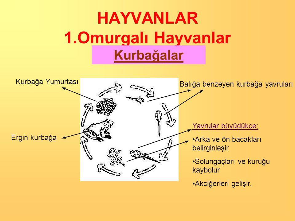 HAYVANLAR 1.Omurgalı Hayvanlar Kurbağalar Yumurtayla çoğalırlar.