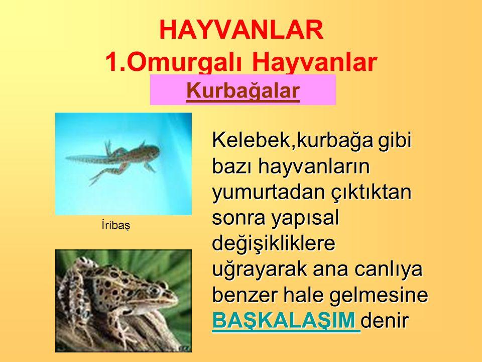 HAYVANLAR 1.Omurgalı Hayvanlar Kurbağalar Kurbağa Yumurtası Balığa benzeyen kurbağa yavruları Yavrular büyüdükçe; •Arka ve ön bacakları belirginleşir