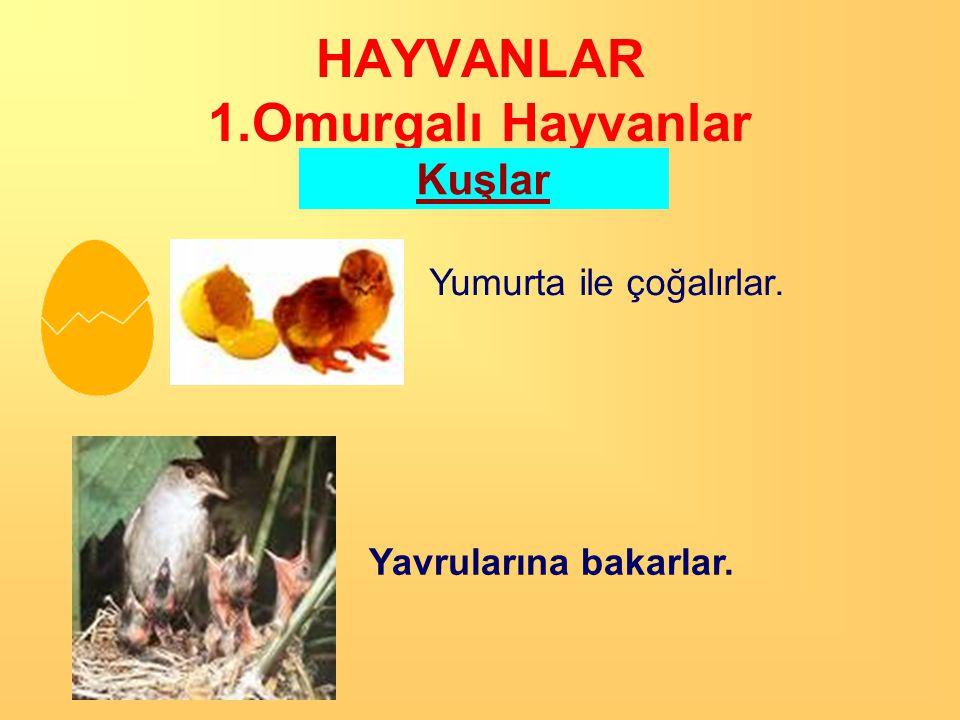 HAYVANLAR 1.Omurgalı Hayvanlar Kuşlar  Çoğu uçabilir.  Vücutları tüylerle kaplıdır.  Akciğer solunumu yaparlar.  Sıcakkanlı canlılardır.  Ağızlar