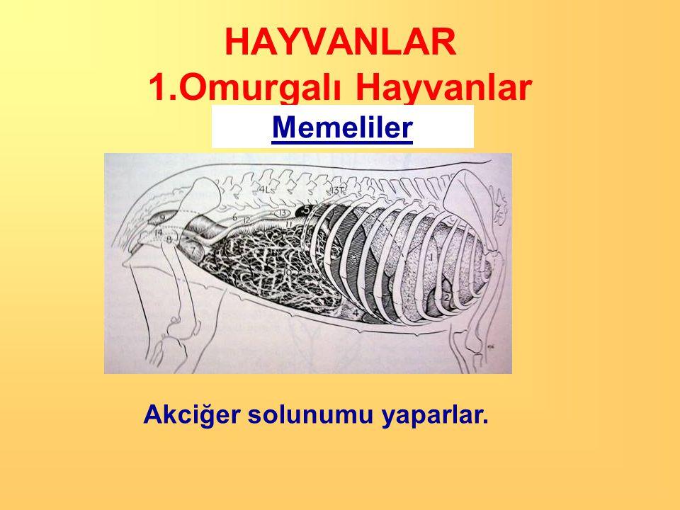 HAYVANLAR 1.Omurgalı Hayvanlar Memeliler Sıcakkanlı canlılardır. Vücutları kıllarla kaplıdır.