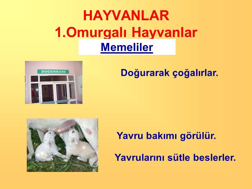 HAYVANLAR 1.Omurgalı Hayvanlar Memeliler Akciğer solunumu yaparlar.