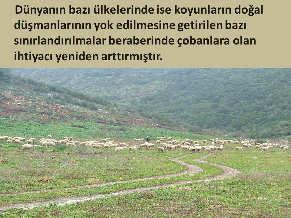 Dünyanın bazı ülkelerinde ise koyunların doğal düşmanlarının yok edilmesine getirilen bazı sınırlandırılmalar beraberinde çobanlara olan ihtiyacı yeni