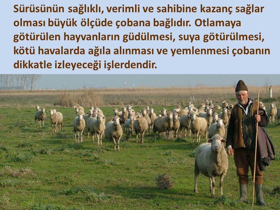Sürüsünün sağlıklı, verimli ve sahibine kazanç sağlar olması büyük ölçüde çobana bağlıdır. Otlamaya götürülen hayvanların güdülmesi, suya götürülmesi,