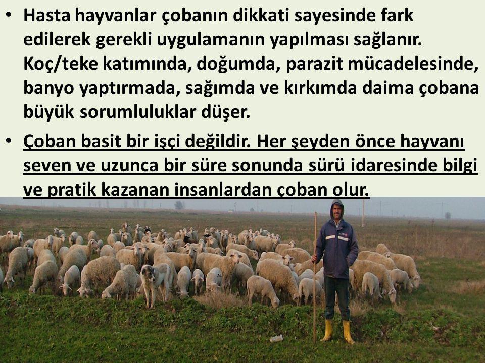 • Hasta hayvanlar çobanın dikkati sayesinde fark edilerek gerekli uygulamanın yapılması sağlanır. Koç/teke katımında, doğumda, parazit mücadelesinde,