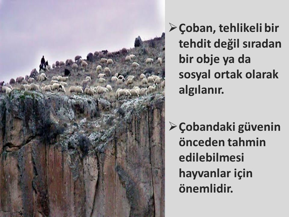  Çoban, tehlikeli bir tehdit değil sıradan bir obje ya da sosyal ortak olarak algılanır.  Çobandaki güvenin önceden tahmin edilebilmesi hayvanlar iç