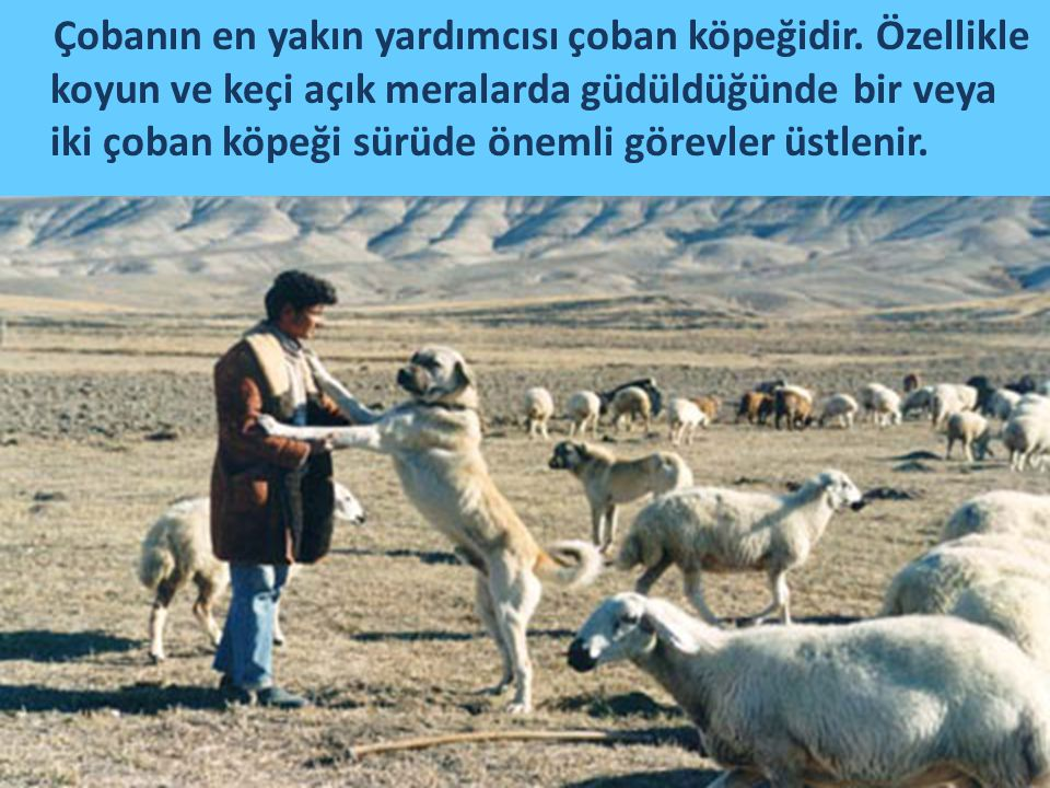Çobanın en yakın yardımcısı çoban köpeğidir. Özellikle koyun ve keçi açık meralarda güdüldüğünde bir veya iki çoban köpeği sürüde önemli görevler üstl