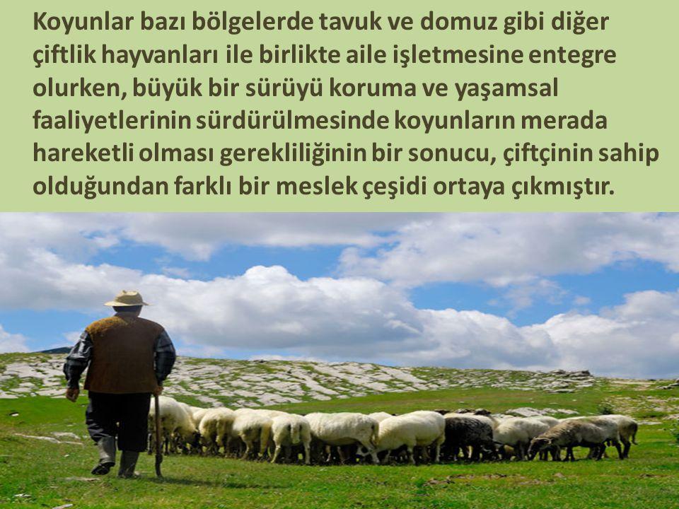 Koyunlar bazı bölgelerde tavuk ve domuz gibi diğer çiftlik hayvanları ile birlikte aile işletmesine entegre olurken, büyük bir sürüyü koruma ve yaşams