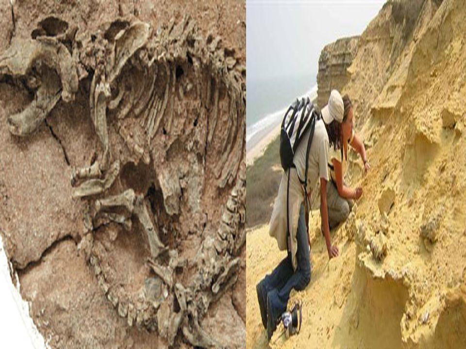 Fosil ve Fosilleşme •Fosil ve Fosilleşme : Canlıların uzun zaman (milyonlarca yıl) öncesinden günümüze kadar gelen kalıntı (kemik, iskelet, diş, kabuk