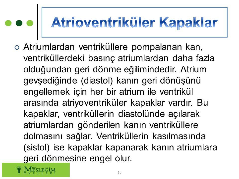 ○ Atriumlardan ventriküllere pompalanan kan, ventriküllerdeki basınç atriumlardan daha fazla olduğundan geri dönme eğilimindedir. Atrium gevşediğinde