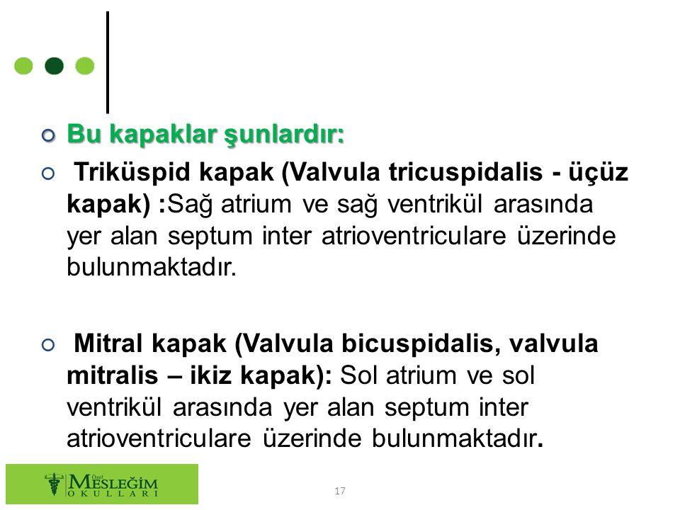 ○ Bu kapaklar şunlardır: ○ Triküspid kapak (Valvula tricuspidalis - üçüz kapak) :Sağ atrium ve sağ ventrikül arasında yer alan septum inter atrioventr
