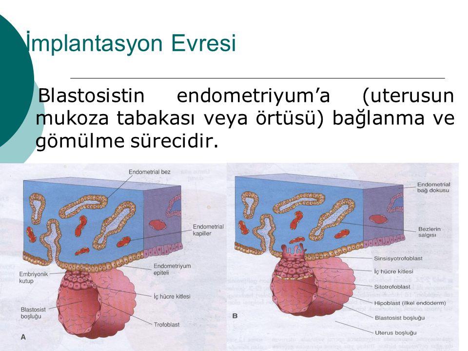 İmplantasyon Evresi Blastosistin endometriyum'a (uterusun mukoza tabakası veya örtüsü) bağlanma ve gömülme sürecidir.