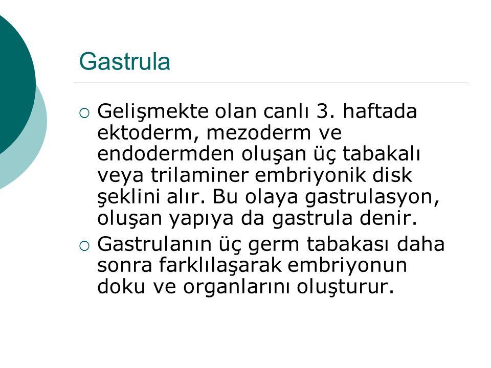 Gastrula  Gelişmekte olan canlı 3. haftada ektoderm, mezoderm ve endodermden oluşan üç tabakalı veya trilaminer embriyonik disk şeklini alır. Bu olay