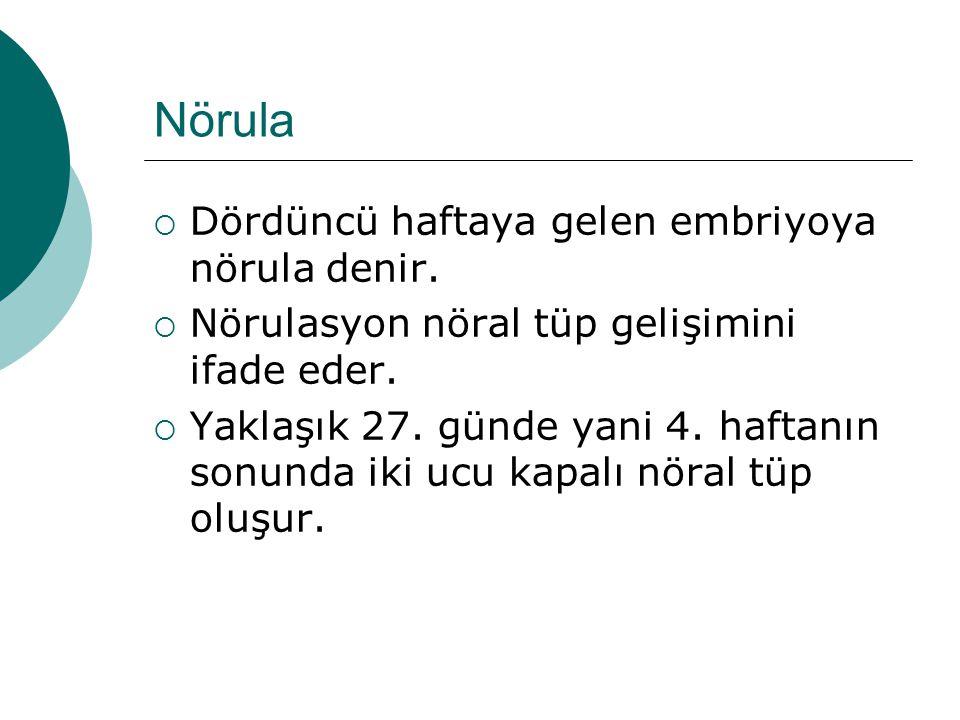 Nörula  Dördüncü haftaya gelen embriyoya nörula denir.  Nörulasyon nöral tüp gelişimini ifade eder.  Yaklaşık 27. günde yani 4. haftanın sonunda ik