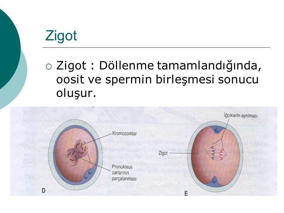 Zigot  Zigot : Döllenme tamamlandığında, oosit ve spermin birleşmesi sonucu oluşur.