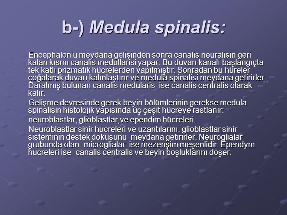 b-) Medula spinalis: Encephalon'u meydana gelişinden sonra canalis neuralisin geri kalan kısmı canalis medullarisi yapar.