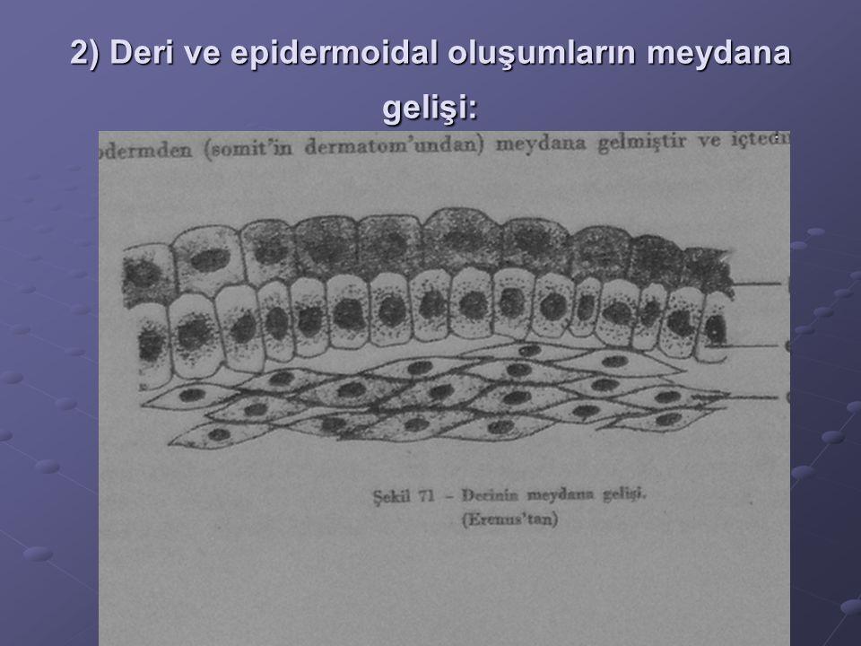 2) Deri ve epidermoidal oluşumların meydana gelişi: