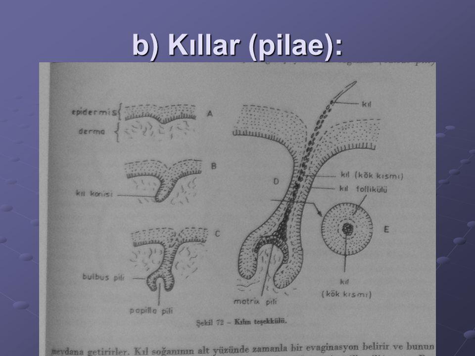b) Kıllar (pilae):
