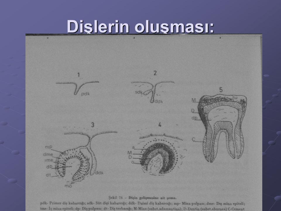 Dişlerin oluşması: