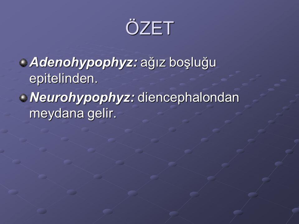 ÖZET Adenohypophyz: ağız boşluğu epitelinden. Neurohypophyz: diencephalondan meydana gelir.