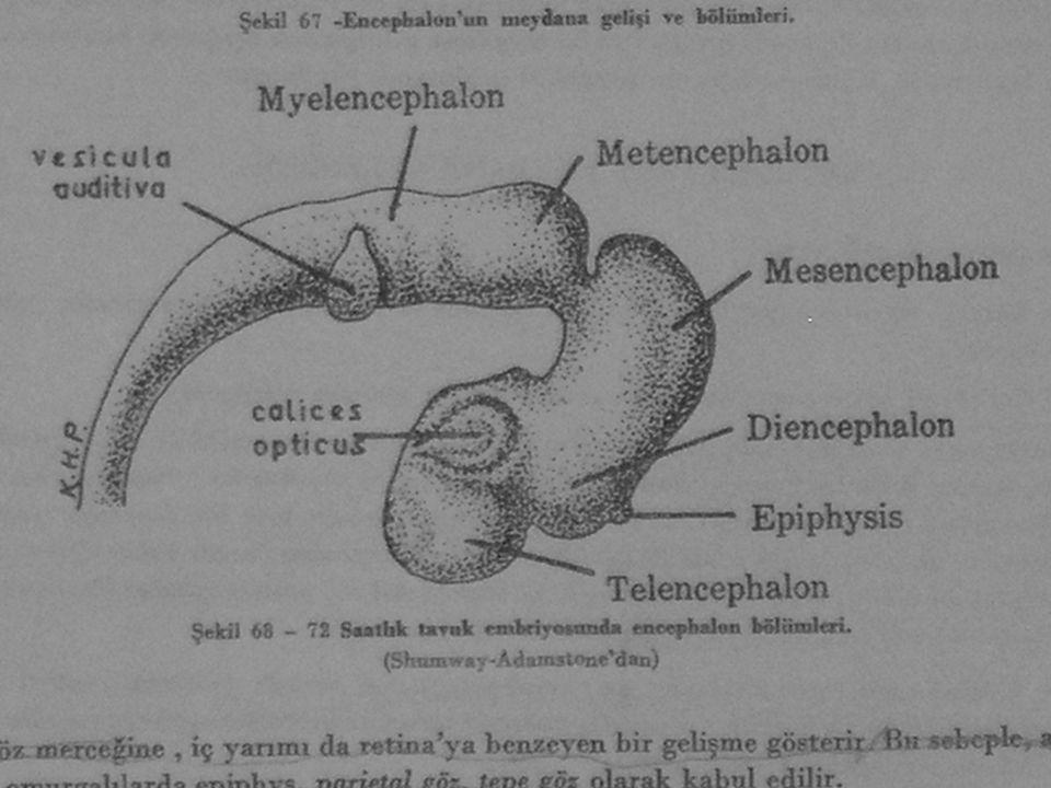 Kanatlılarda memeli hayvanlarda ve insan da ise diencephalonda n bu divertikül neurohypophisde olduğu gibi karakteri kazanarak epifizi meydana getirir.
