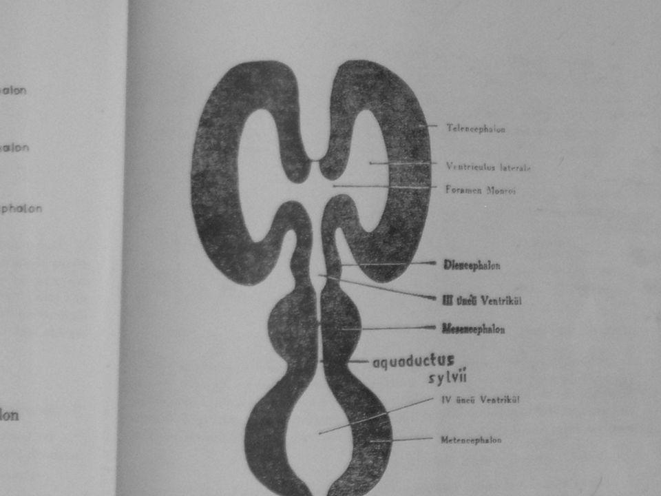 Encephalon'un saydığım bölümleri bir takım boğumlar aracılığı ile bir birlerine bağlanmıştır.