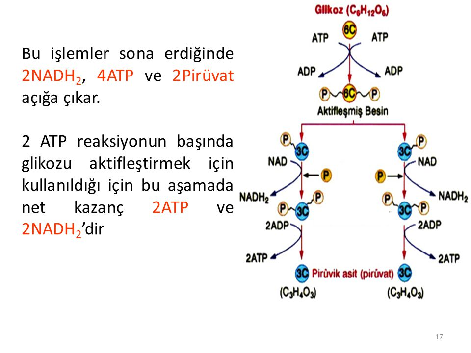 17 Bu işlemler sona erdiğinde 2NADH 2, 4ATP ve 2Pirüvat açığa çıkar.