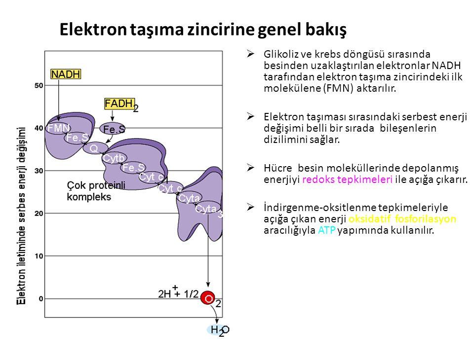 Elektron taşıma zincirine genel bakış  Glikoliz ve krebs döngüsü sırasında besinden uzaklaştırılan elektronlar NADH tarafından elektron taşıma zincirindeki ilk molekülene (FMN) aktarılır.