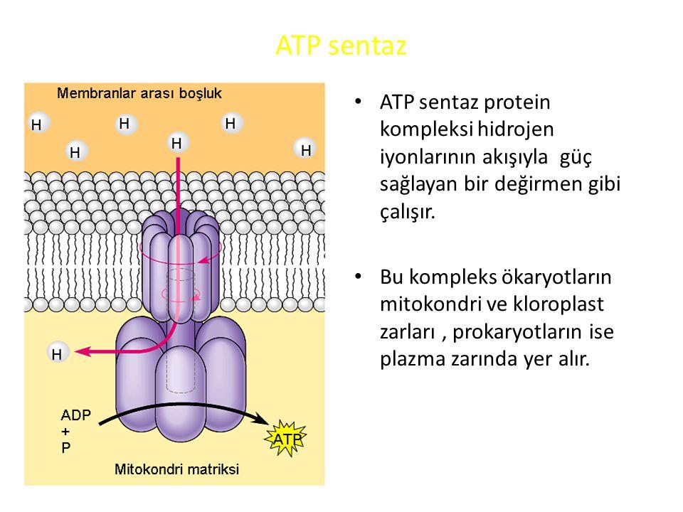 ATP sentaz • ATP sentaz protein kompleksi hidrojen iyonlarının akışıyla güç sağlayan bir değirmen gibi çalışır.