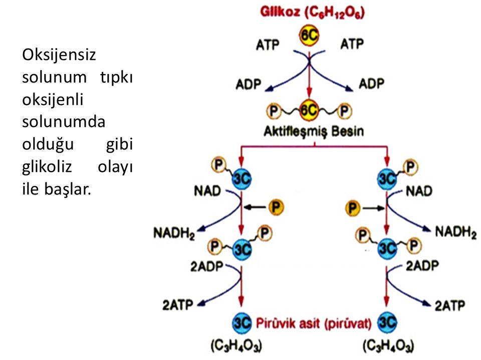 33 Oksijensiz solunum tıpkı oksijenli solunumda olduğu gibi glikoliz olayı ile başlar.