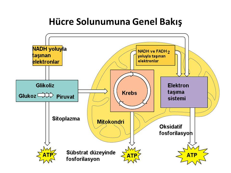 Hücre Solunumuna Genel Bakış