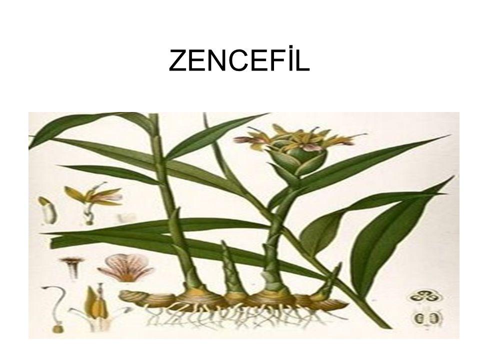 •Zencefil; tropikal iklim karakterindeki coğrafi alanlarda yaşayan ve yetişen yumru köklü sarımtırak bir bitkidir.