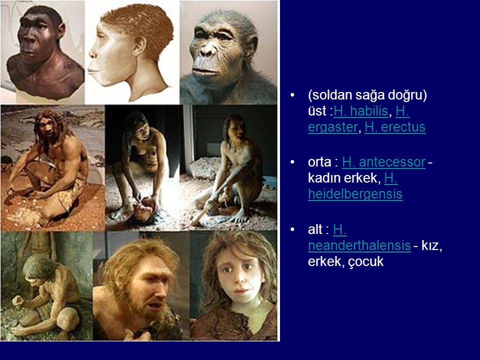•(soldan sağa doğru) üst :H. habilis, H. ergaster, H. erectusH. habilisH. ergasterH. erectus •orta : H. antecessor - kadın erkek, H. heidelbergensisH.