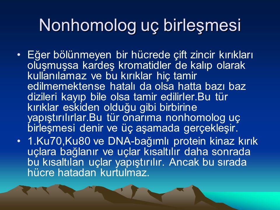 Nonhomolog uç birleşmesi •Eğer bölünmeyen bir hücrede çift zincir kırıkları oluşmuşsa kardeş kromatidler de kalıp olarak kullanılamaz ve bu kırıklar h