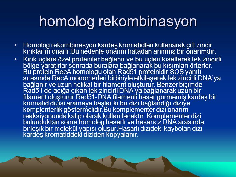 homolog rekombinasyon •Homolog rekombinasyon kardeş kromatidleri kullanarak çift zincir kırıklarını onarır.Bu nedenle onarım hatadan arınmış bir onarı