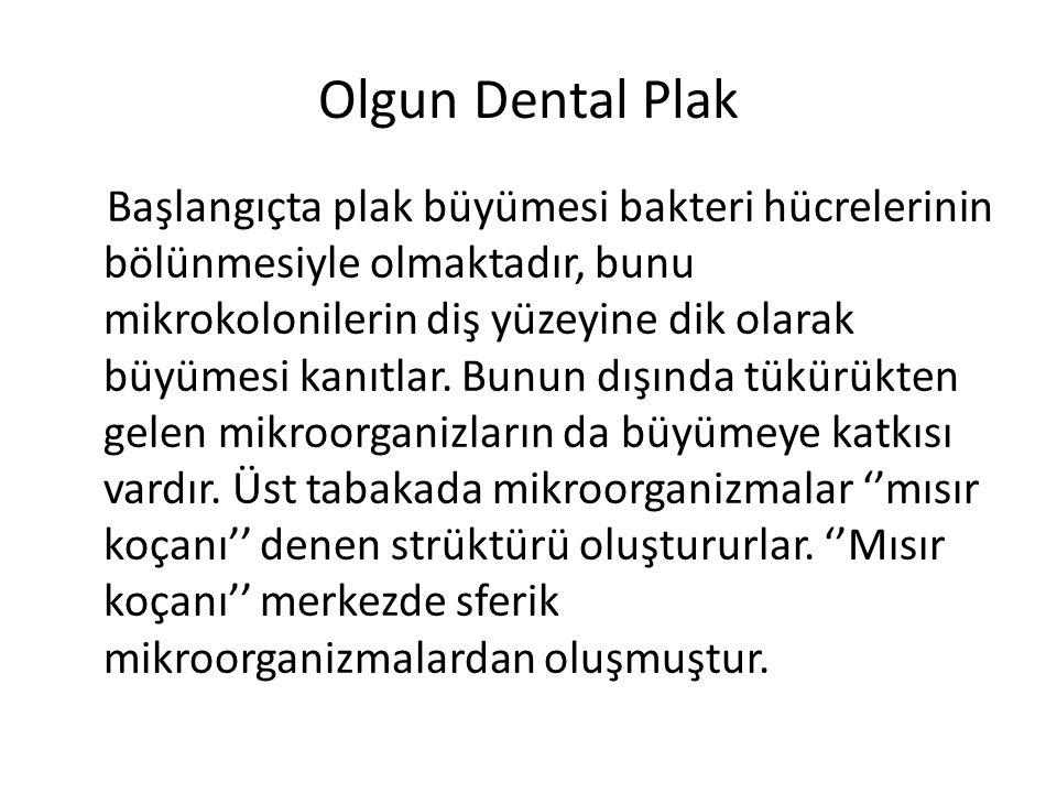 Olgun Dental Plak Başlangıçta plak büyümesi bakteri hücrelerinin bölünmesiyle olmaktadır, bunu mikrokolonilerin diş yüzeyine dik olarak büyümesi kanıt
