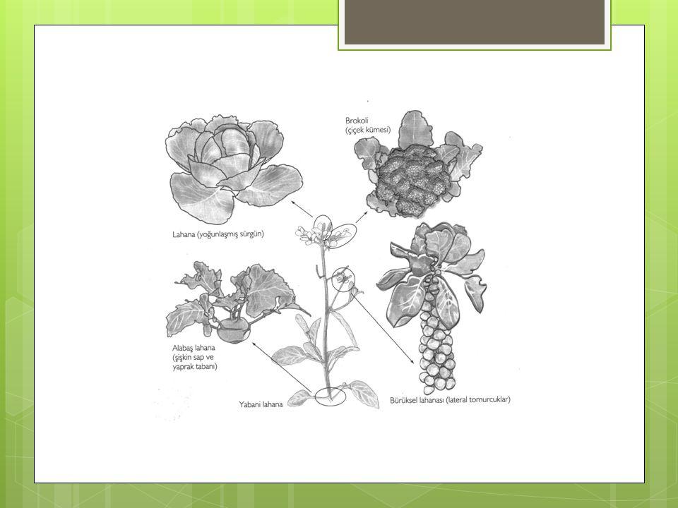 Yaprağı geniş olanlar seçilerek Çiçek gelişiminin baskılanması ile (avrupa kuzeyinde) Farklı bir seçim ile (İtalya'da)