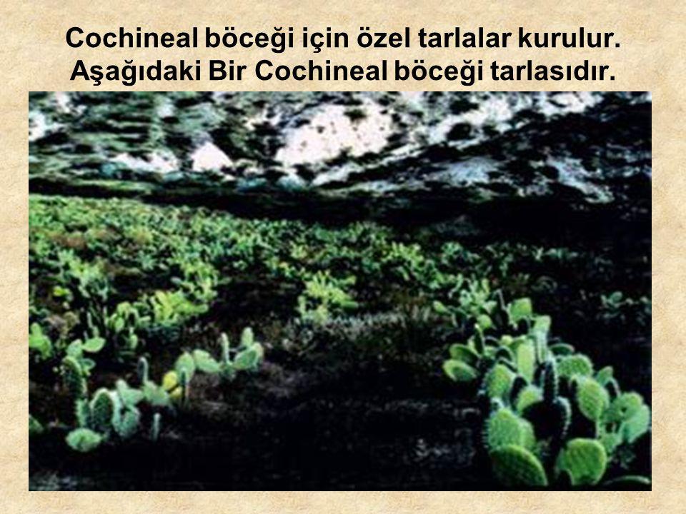 Cochineal böceği için özel tarlalar kurulur. Aşağıdaki Bir Cochineal böceği tarlasıdır.