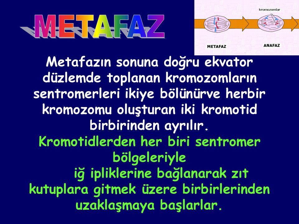 Metafazın sonuna doğru ekvator düzlemde toplanan kromozomların sentromerleri ikiye bölünürve herbir kromozomu oluşturan iki kromotid birbirinden ayrıl