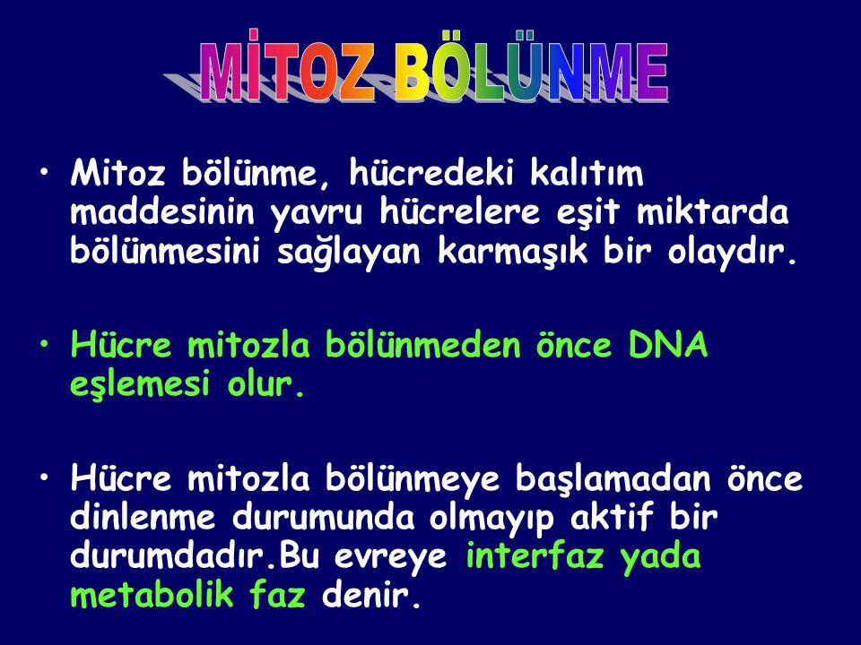•Mitoz bölünme, hücredeki kalıtım maddesinin yavru hücrelere eşit miktarda bölünmesini sağlayan karmaşık bir olaydır. •Hücre mitozla bölünmeden önce D
