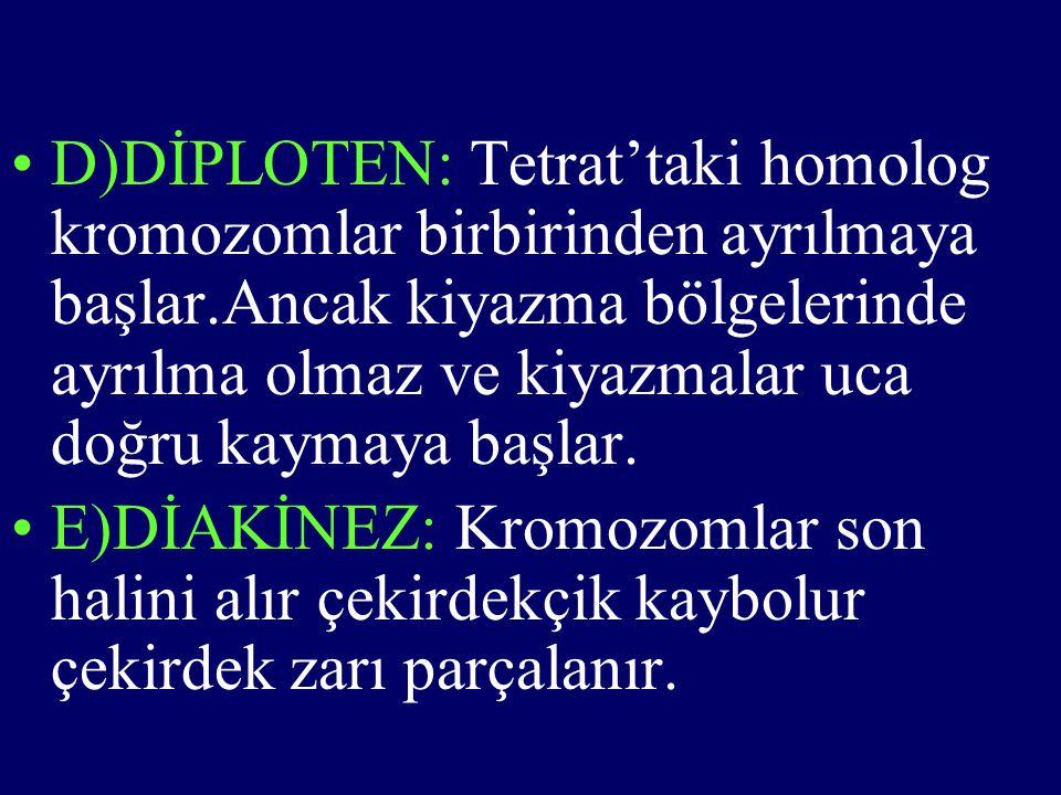 •D)DİPLOTEN: Tetrat'taki homolog kromozomlar birbirinden ayrılmaya başlar.Ancak kiyazma bölgelerinde ayrılma olmaz ve kiyazmalar uca doğru kaymaya baş
