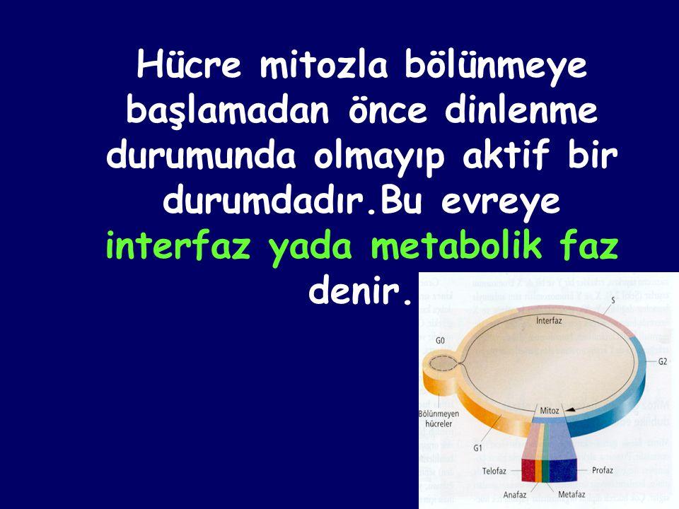 Hücre mitozla bölünmeye başlamadan önce dinlenme durumunda olmayıp aktif bir durumdadır.Bu evreye interfaz yada metabolik faz denir.