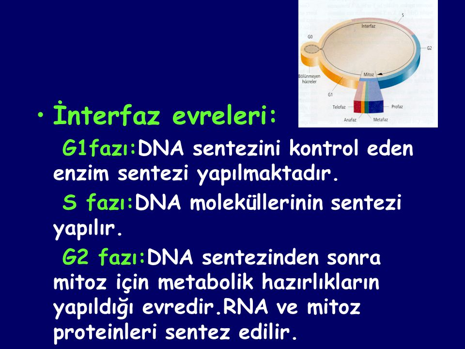 •İnterfaz evreleri: G1fazı:DNA sentezini kontrol eden enzim sentezi yapılmaktadır. S fazı:DNA moleküllerinin sentezi yapılır. G2 fazı:DNA sentezinden