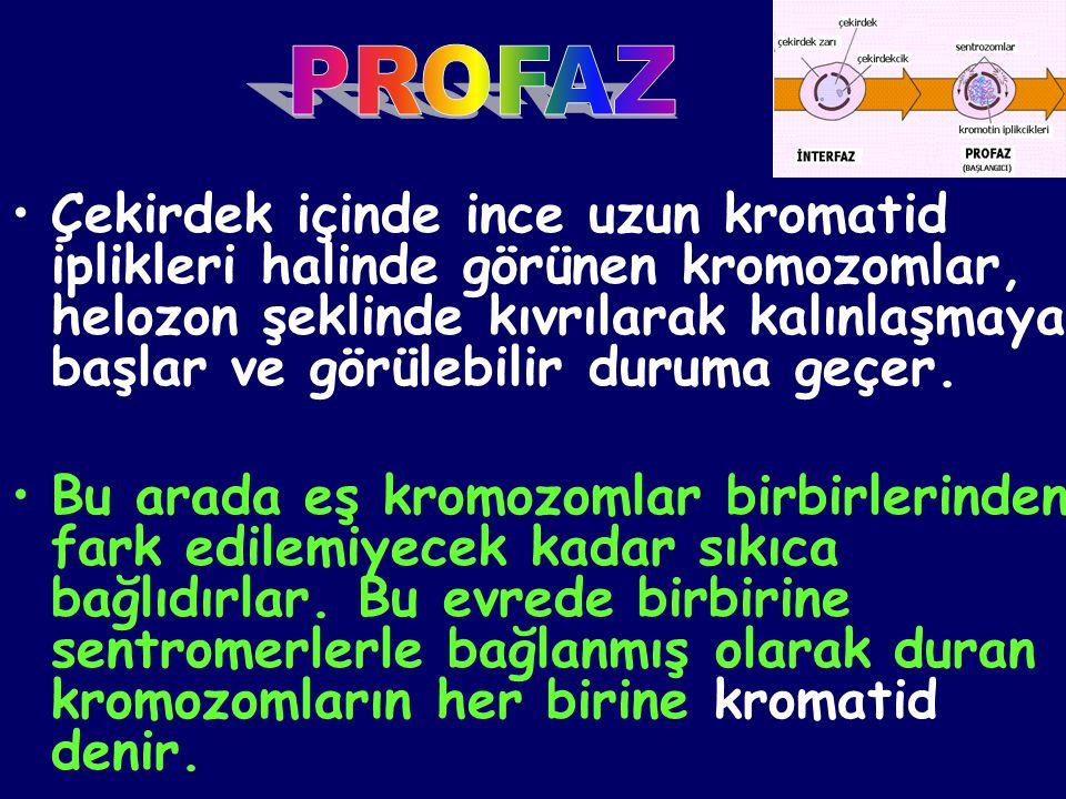 •Çekirdek içinde ince uzun kromatid iplikleri halinde görünen kromozomlar, helozon şeklinde kıvrılarak kalınlaşmaya başlar ve görülebilir duruma geçer