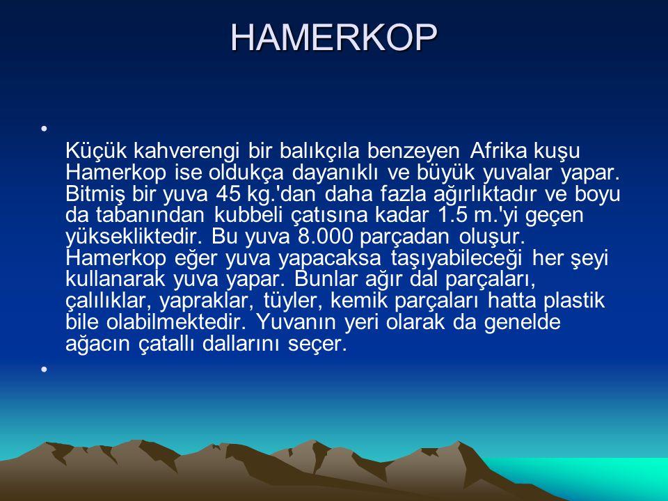 HAMERKOP • Küçük kahverengi bir balıkçıla benzeyen Afrika kuşu Hamerkop ise oldukça dayanıklı ve büyük yuvalar yapar. Bitmiş bir yuva 45 kg.'dan daha