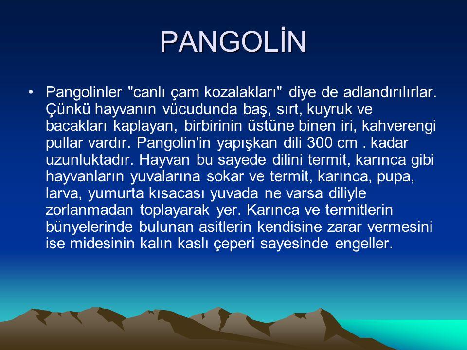 PANGOLİN •Pangolinler