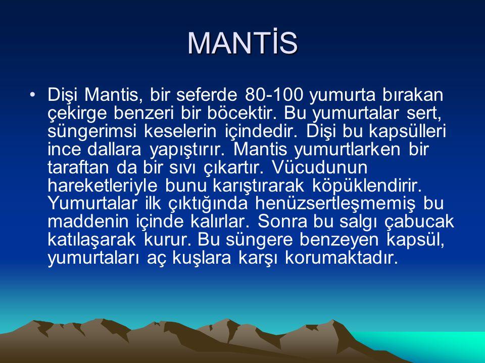 MANTİS •Dişi Mantis, bir seferde 80-100 yumurta bırakan çekirge benzeri bir böcektir. Bu yumurtalar sert, süngerimsi keselerin içindedir. Dişi bu kaps